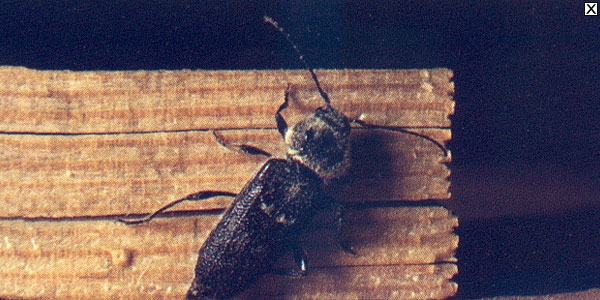les insectes larves xylophages capricorne. Black Bedroom Furniture Sets. Home Design Ideas