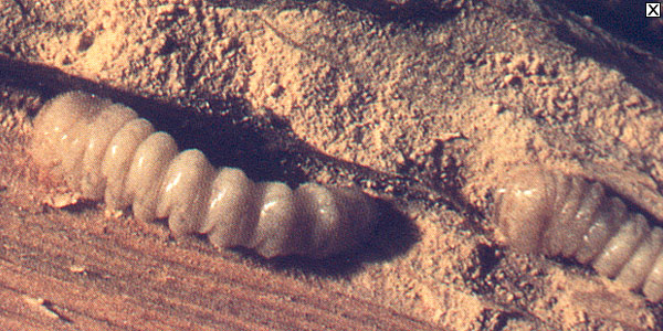 les insectes larves xylophages capricorne hesp rophane vrillette lyctus et sirex gigas. Black Bedroom Furniture Sets. Home Design Ideas